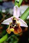 Ophrys episcopalis